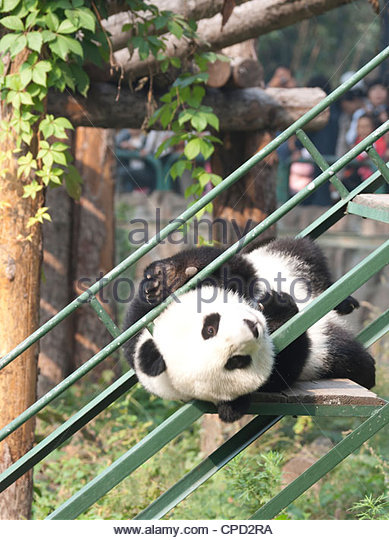 Giant Panda (Ailuropoda melanoleucabear) doing a somersault on staircase, Beijing Zoo, Beijing, China, Asia - Stock Image