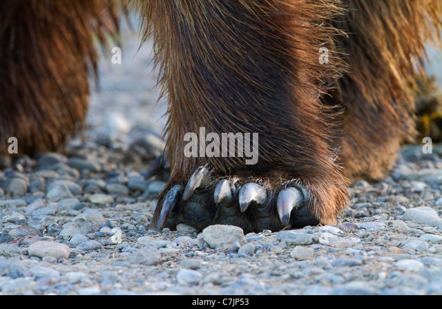 Male Brown / Grizzly Bear, Lake Clark National Park, Alaska. - Stock Image