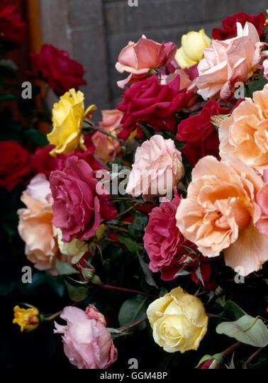 Roses - Mixed Hybrid Tea Roses   RHT005147 - Stock Image