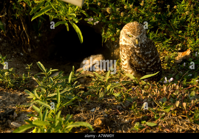 Burrowing owl Athene cunicularia beside burrow hole - Stock Image
