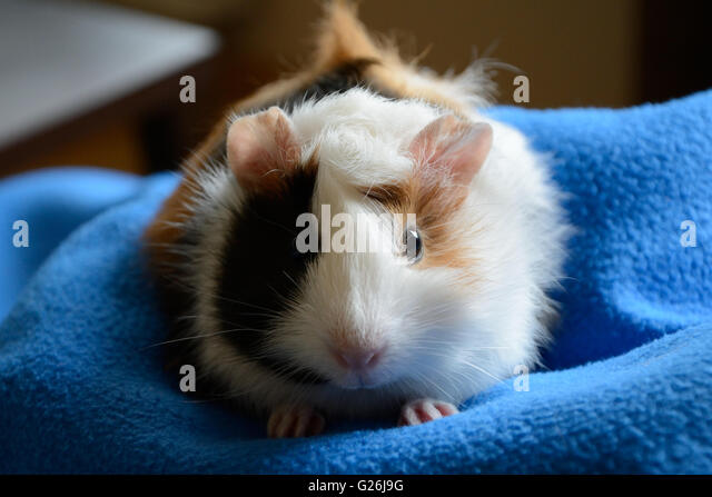 Face of cute Guinea-Pig standing on blue blanket - closeup - Stock Image