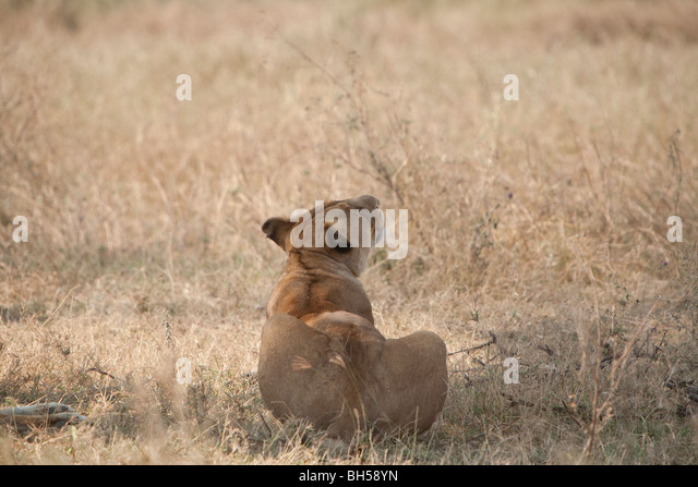 Female lion in the Serengeti National Park sitting down in dry grass and looking up - Stock Image