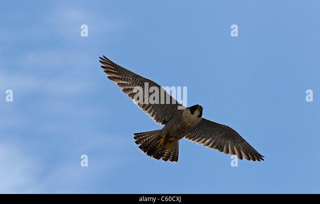peregrine falcon soars in flight Thursday, April 28, 2011, over San Francisco. - Stock Image