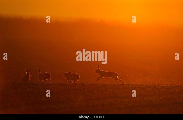 Brown Hares Lepus europaeus boxing at dawn Norfolk spring - Stock Image