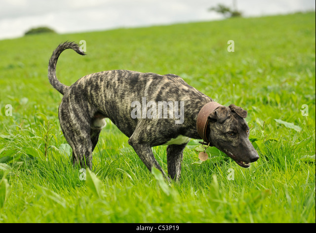 a lurcher dog hunting in a field - Stock Image