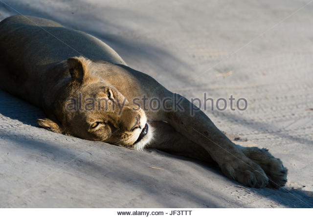 A lioness, Panthera leo, resting on the tracks left by a vehicle. - Stock Image