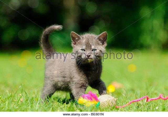 Cat (Felis catus), kitten - Stock Image