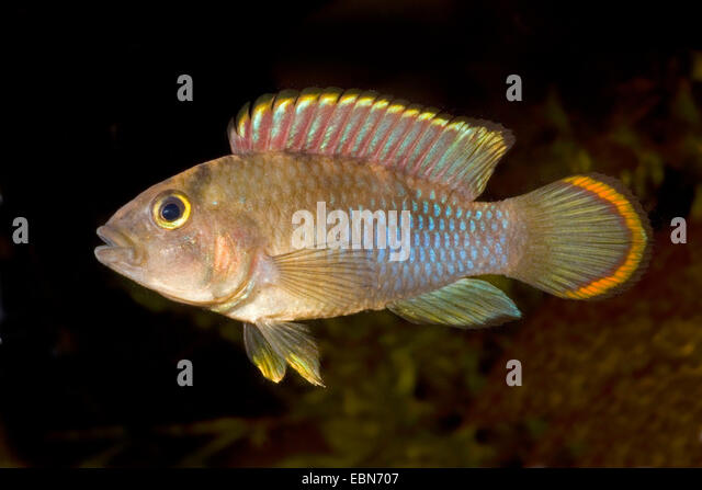 Nijsseni's dwarf cichlid, Panda dwarf cichlid (Apistogramma nijsseni), swimming - Stock Image