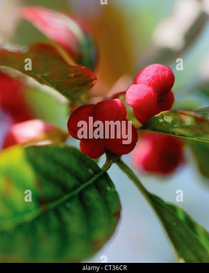 Euonymus europaeus, Spindle Tree - Stock Image