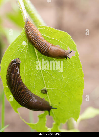 Spanish slugs (Arion vulgaris) eating a sunflower leaf. - Stock Image