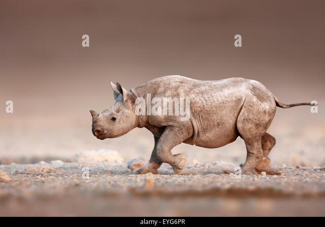 Baby Black Rhinoceros running over salty desert plains of Etosha - Stock Image