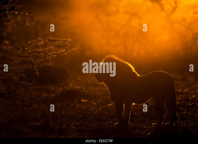 Adult male lion (Panthera leo) at dawn Mara Naboisho conservancy Kenya Africa - Stock Image