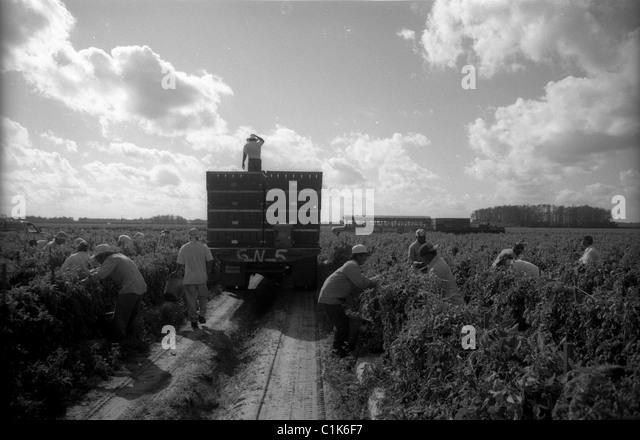Farm workers picking tomatoes - Stock-Bilder