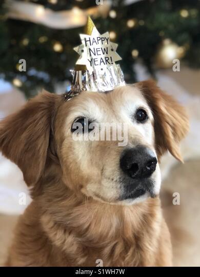 Happy New Year Golden Retriever - Stock Image