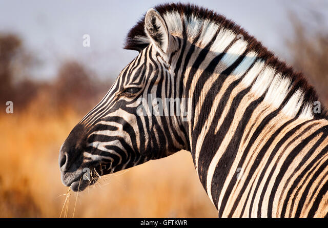 Head of a Zebra in the Etosha National Park in Namibia, Africa concept for traveling in Africa - Stock-Bilder