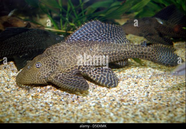 Suckermouth Catfish - Stock Image
