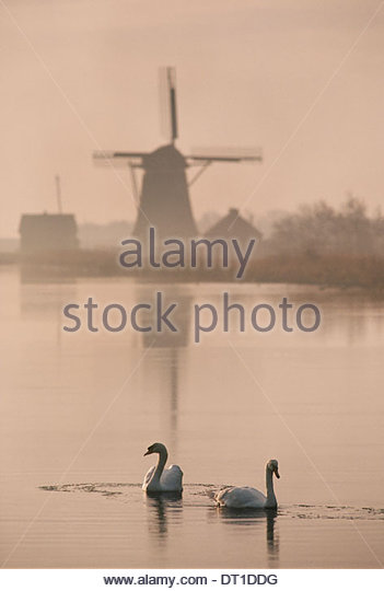 Texel Netherlands Swans on the water historic windmill in Texel - Stock Image