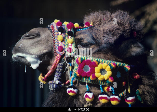 Portrait of Wrestling Camel Decorated with Woollen Baubles and Harness Turkey - Stock Image