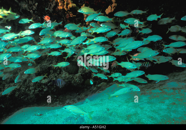barbados Underwater schooling grunts striped fish shallow caribbean coral reef - Stock Image