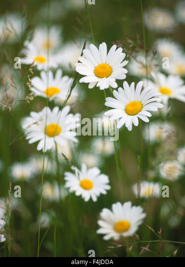 color image flower no people outdoors ox-eye daisy plants Scandinavia seedling summer Sweden tender Vastergotland - Stock-Bilder