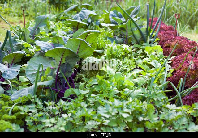Vegetable garden with parsley, radicchio, lettuce, turnip, leek - Stock Image