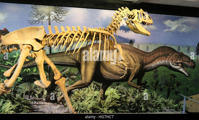 Allosaurus skeleton in front of mural Quarry Exhibit Hall at Dinosaur National Monument - Stock Image