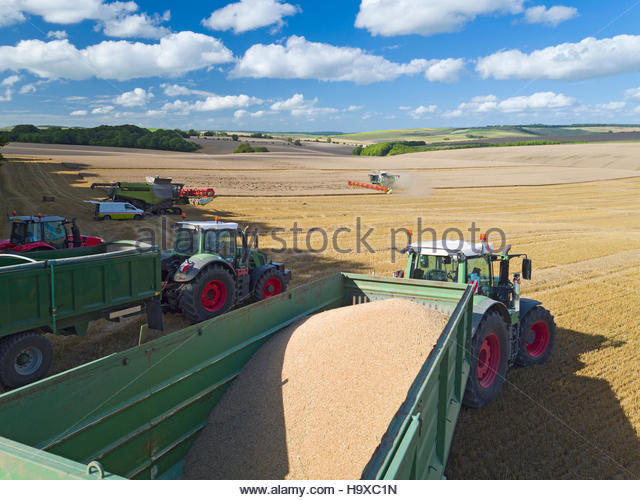 Tractors With Trailers Collecting Wheat From Harvested Field - Stock Image