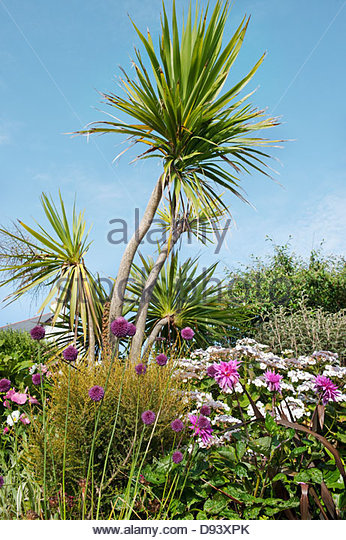 Alliums, lacecap hydrangeas and dahlias in the front garden, with Torbay palms - Stock Image