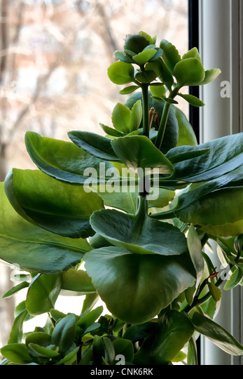 air purification, closeup, cultivated, decorative, fleshy, foliage, fresh, gardening, green, growing, houseplant, - Stock Image