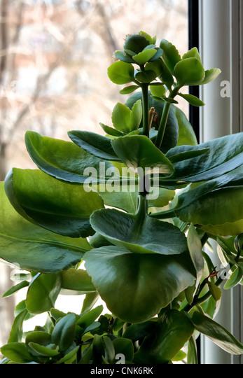 air purification, closeup, cultivated, decorative, fleshy, foliage, fresh, gardening, green, growing, houseplant, - Stock Image