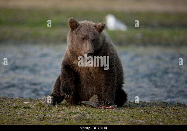 grizzly bear resting in - photo #29
