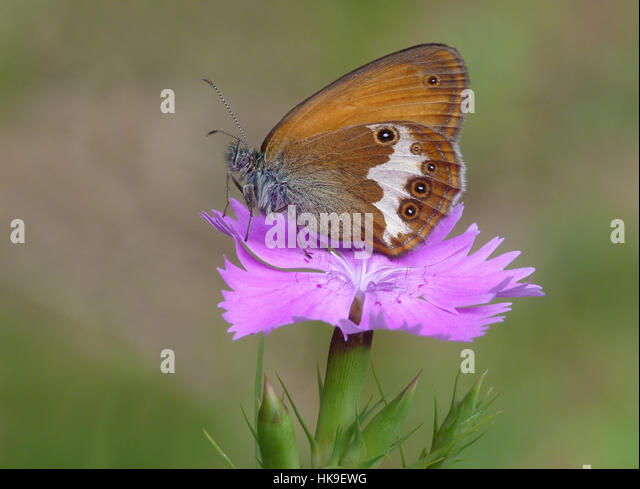 Pearly Heath (Coenonimpha arcania) Adult perched on Maiden Pink (Dianthus deltoise) Cannobina Valle, Piedmont, Italian - Stock-Bilder