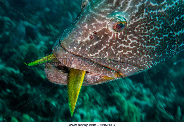 A black grouper with an undigested snapper fish swims slowly across a coral reef in the Gardens of the Queen, Cuba. - Stock-Bilder