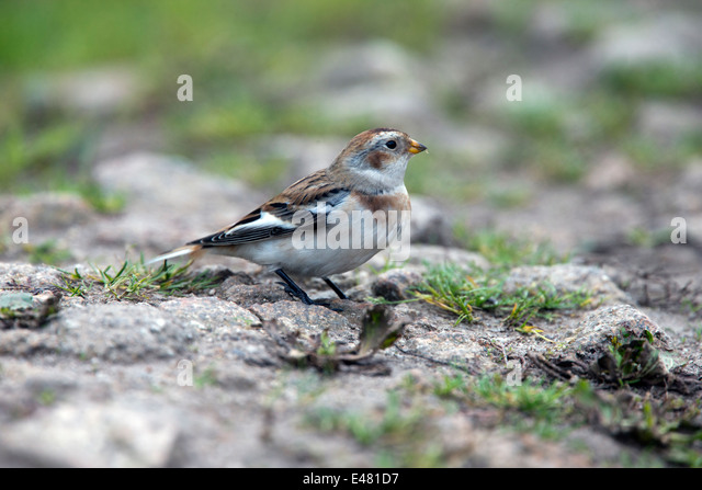 A winter plumaged Snow Bunting on a rocky path, St. Marys, Scilly Isles, Cornwall, UK. - Stock Image