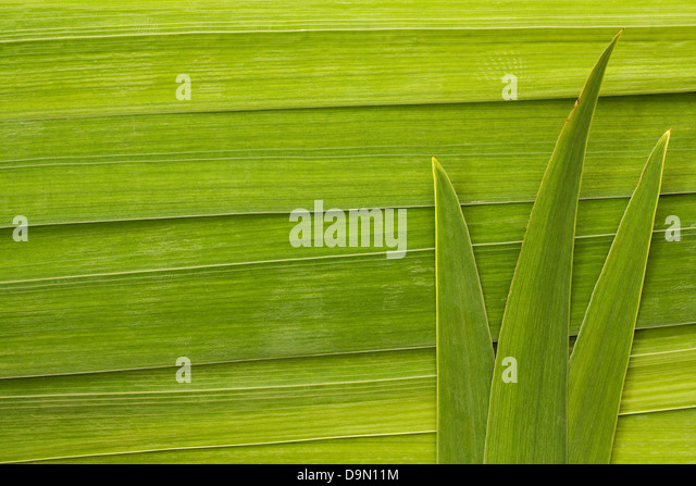 Long palm leaf detail background great symbol for tropical forests or travel to the tropics - Stock-Bilder