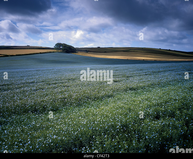 Patches of sunlight fall across an undulating field of Linseed. - Stock Image