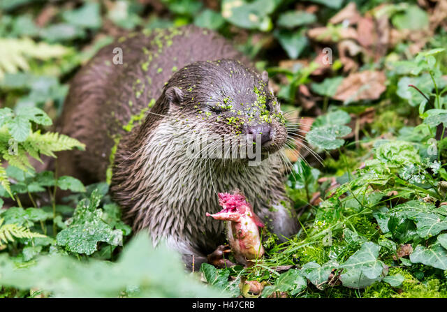 European River Otter (Lutra lutra) eating caught fish on riverbank in forest - Stock Image