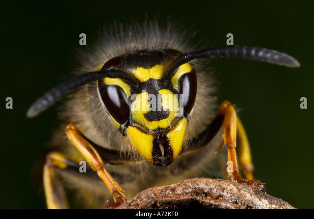 common wasp Vespula vulgaris detail view of head showing distinctive markings potton bedfordshire - Stock-Bilder