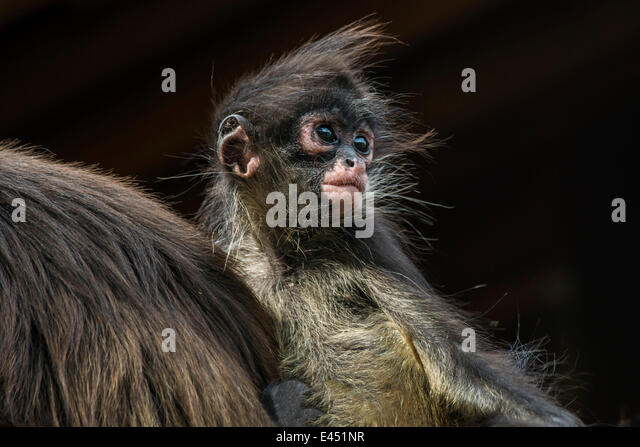 Geoffroy's Spider Monkey (Ateles geoffroyi), young, captive, Western Cape Province, South Africa - Stock Image