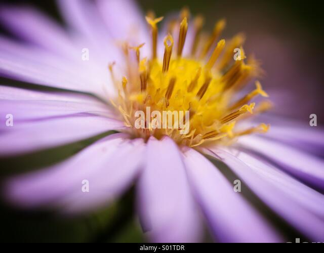 Michaelmas daisy close-up - Stock Image