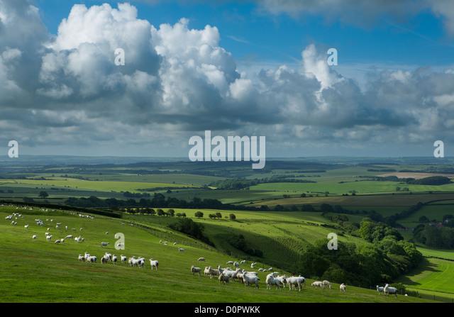 sheep in a field near the Dorset Gap, Dorset, England, UK - Stock Image