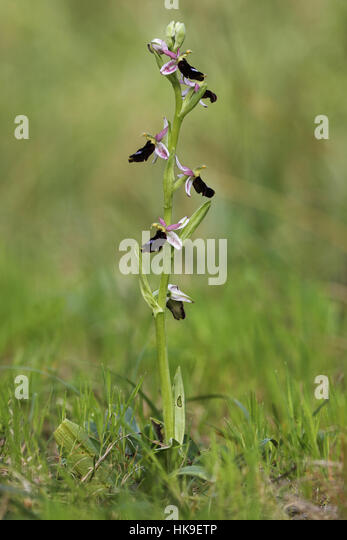 Balearic Orchid (Ophrys balearica) Endemic of Balearic Islands, single Stem with open flowers, April 2016 - Stock-Bilder