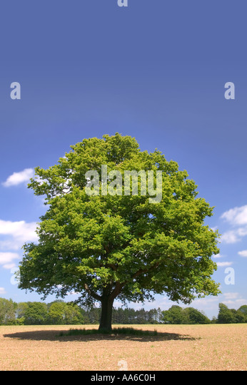 An Old Oak tree alone in a field on a summers day taken in a field in Hampshire, England. - Stock Image