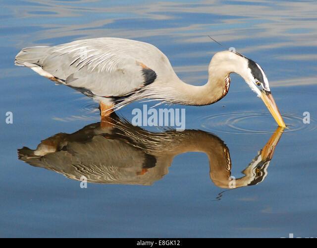 USA, Florida, Orange County, Orlando, Blue Egret reflection - Stock Image