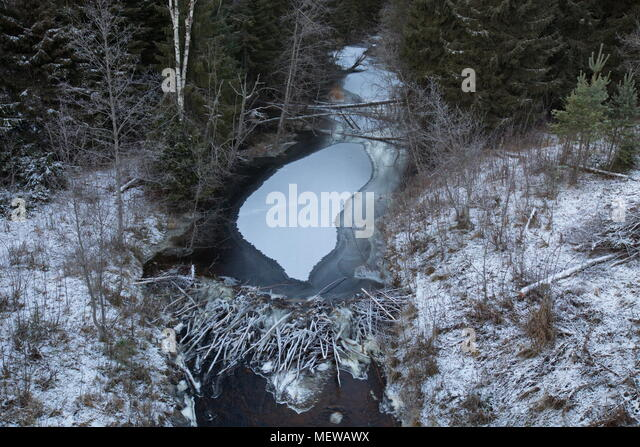 Beaver dam in a natural river on a frosty winter day. - Stock Image