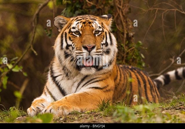 Siberian/Amur Tiger - Stock Image