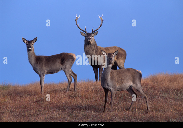Red deer, Isle of Harris, Hebrides, Scotland, United Kingdom, Europe - Stock Image