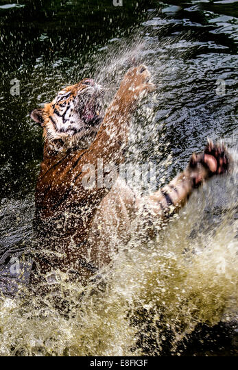 Tiger pouncing out of water - Stock Image