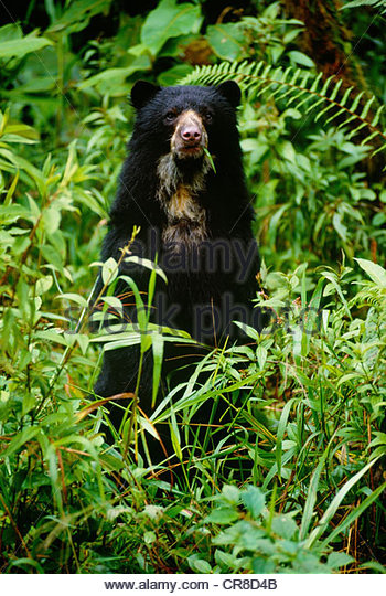 Spectacled bear, Clouded Forest, Norino Region, Colombia - Stock Image