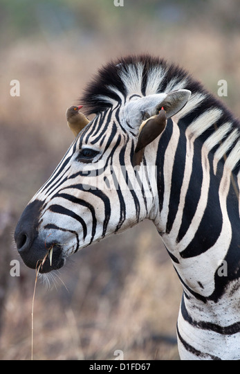 Zebra (Equus burchelli) with redbilled oxpeckers (Buphagus erythrorhynchus), Imfolozi game reserve, KwaZulu-Natal, - Stock Image